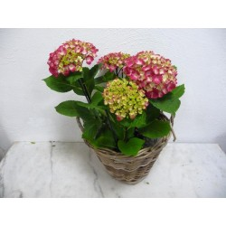 Hortensia rouge