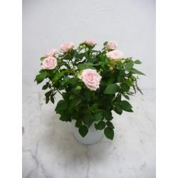 Rosier Rose vendu avec son...