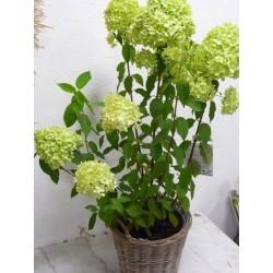 hortensia limelight vendu...